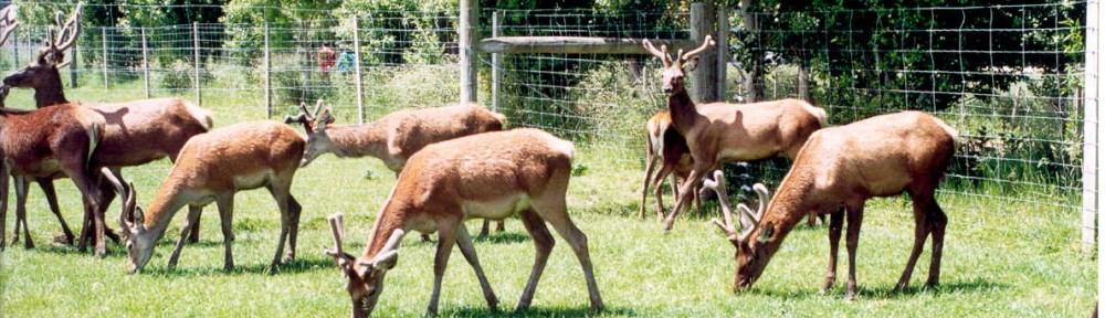 Deer Farming – NZ
